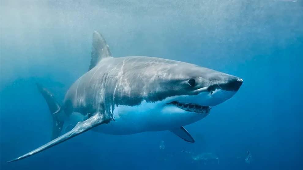 Attaque de requin en SUP Foil